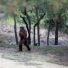 Texas Bigfoot