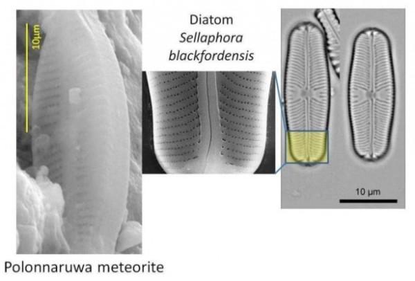 diatom-sellaphora-comparison-e1358614939978