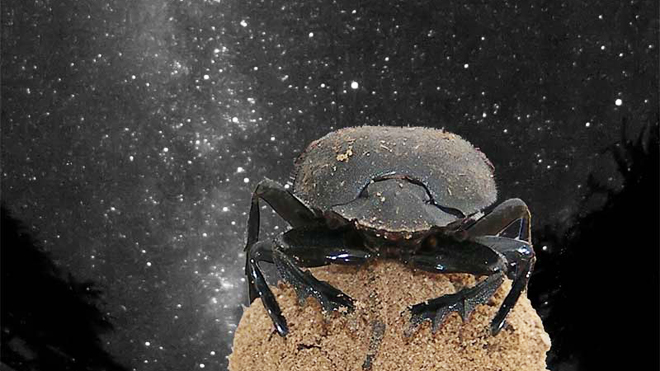 Dung Beetle uses the Milky Way to Navigate
