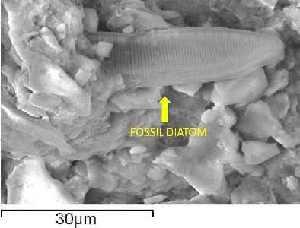 fossildiatomc2
