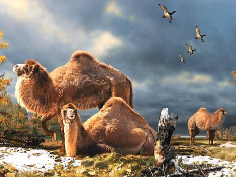 Giant camel fossil unearthed in the Arctic